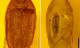 The first described fossil species of Litargus E...