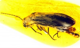 Waidelotinae, a new subfamily of Pyrochroidae (C...
