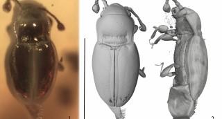 First extinct species of the genus Holoparamecus...