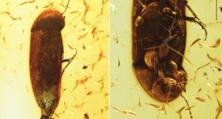 Fossil Melandryidae (Coleoptera: Tenebrionoidea)...