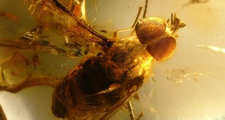 Mosquitos in Baltic amber