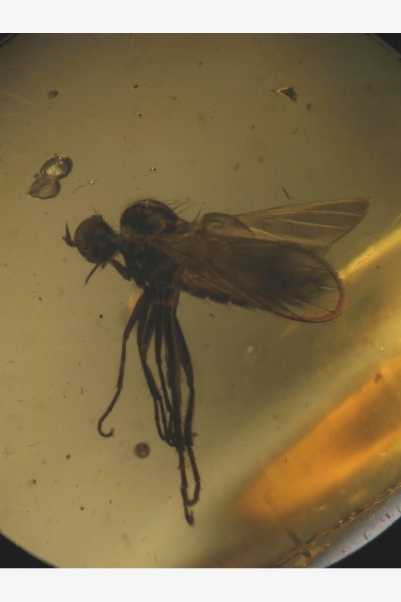 Family Dolichopodidae, Acroceridae