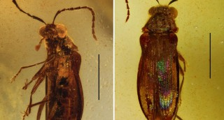 A new beetle family, Mysteriomorphidae fam. nov....