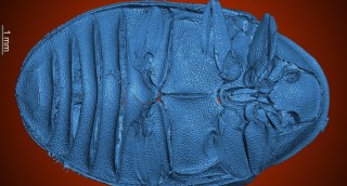 The first described turtle beetles from Eocene B...