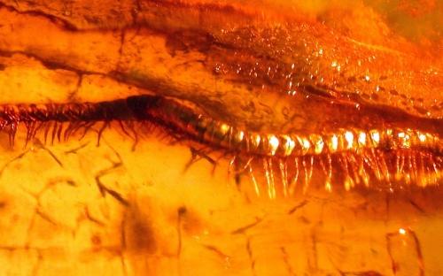 Рис. 6. Кивсяки (Julidae) в янтаре
