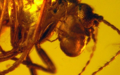 Рис. 87. Клещи из семейства Erythraeidae, паразитирующие на длинноусыхдвукрылых насекомых (Diptera, Nematocera)