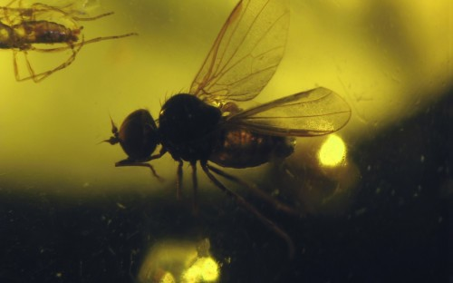 Рис. 61. Взрослые особи паразитов пуков (Diptera, Acroceridae)