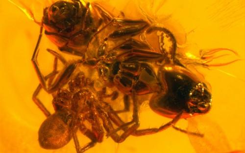 Рис. 50. Паук, атакующий муравья в паутине