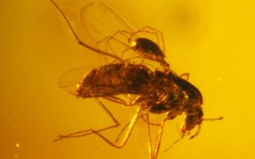 Рис. 86. Клещи из семейства Erythraeidae, паразитирующие на длинноусыхдвукрылых насекомых (Diptera, Nematocera)