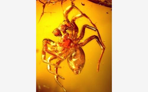 Рис. 28. Паук-экобиид (Oecobiidae) расположением опушения на теле