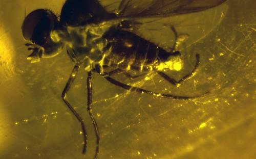Рис. 62. Взрослые особи паразитов пуков (Diptera, Acroceridae)