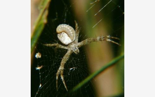 Рис. 60. Личинки современных полисфинктин (Hymenoptera, Ichneumonidae, Polysphinctinae), паразитирующие на пауках.