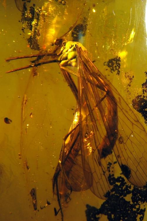 Рис. 106. Скорпионовая муха (Mecoptera)