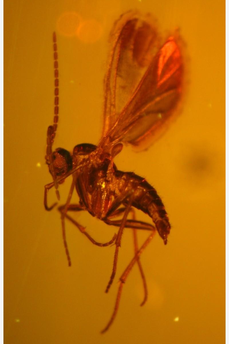 Sciaridae – листовой комарик